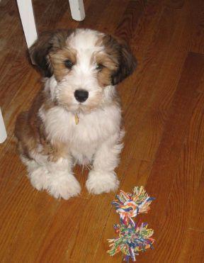 Tibetan Terrier Photo 55